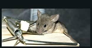 rat poison pellets home depot. Home Depot Rat Trap Mouse Mice Poison Electronic Traps . Pellets