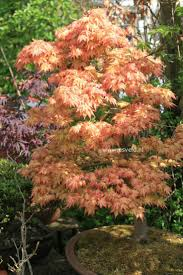 Small Picture 92 best Japanese Maples images on Pinterest Acer palmatum