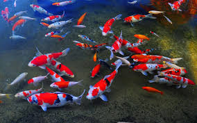 31/03/2013: Koi Fish Live Wallpapers - HD Wallpapers