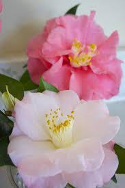 Camellias ~ Southern Graciousness