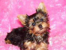 cute yorkie puppies for sale. Delighful For Yorkies For Sale With Cute Yorkie Puppies For Sale Bowie  Free Classified Ads  GlobalFreeClassifiedAdscom
