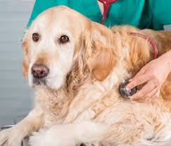 An Update On Canine Lymphoma Treatment