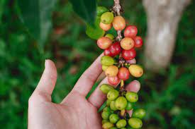 Well established manufacturing company for sale in south africa, with marketing structure in africa and tax benefits via its company in mauritius. Coffee Grow Harvest And Use Coffee With Lifestyle Home Garden