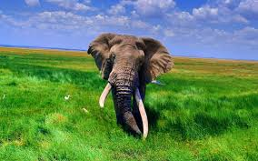 Free download Tag African Elephant ...