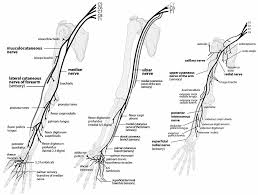 Upper Extremity Nerve Anatomy Peripheral Nerves Of The