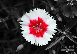 black and white photography with color flowers. Beautiful And Dianthus Photograph  Red And White Flower Decor Macro Color  Splash Black Digital In Photography With Flowers F