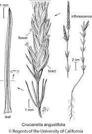 Crucianella angustifolia
