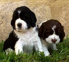 does a female dog need to have a litter of puppies before being spa
