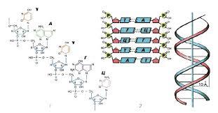 Нуклеиновые кислоты структура и функции Биохимия Реферат  Рис 60 Строение нуклеиновых кислот 1 РНК 2 ДНК