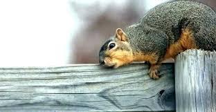 natural squirrel repellent squirrel natural squirrel repellent for garden
