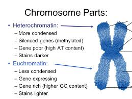 essay example crabbe essay writing assignment pano  heterochromatin and euchromatin genetics genomics essay example