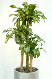 office plants no light. ExecuFlora - Six Low-Light Plants For Your Office No Light