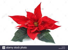 Weihnachtsstern Blume Stockfotos Weihnachtsstern Blume