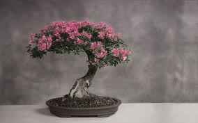cherry blossom bonsai trees bonsai tree