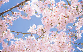 Cherry Blossom Tree Desktop Wallpapers And Backgrounds