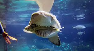 great hammerhead shark eating. Beautiful Eating Teeth Often Break Off While Sharks Are Feeding They Replaced By  In Reserve Rows The Lemon Shark Negaprion Brevirostris Can Replace A Tooth Intended Great Hammerhead Shark Eating