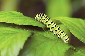 Yellow Caterpillar Identification Chart How To Protect Your Flowers From Caterpillar Pests