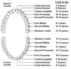 Tooth Eruption Charts Namibian Dental Association