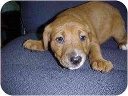 american bulldog golden retriever mix. American Bulldog Golden Retriever Mix To