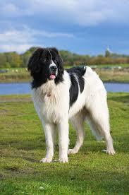 boatswain dog. landseer newfoundland named gilmore puppy dog photography puppies doggie pup newf newfie boatswain