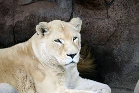 white lioness.  White White Lioness 1 By 8TwilightAngel8  On S