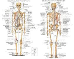 Small Picture Skeletal System Chapter 5 anatomy physiology Pinterest
