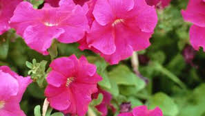 south ina easily accommodates common bedding plants like petunias