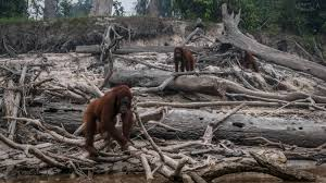 Sustainable' palm oil linked to catastrophic rainforest fires | News | The  Times