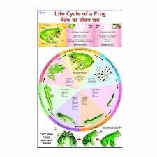 Science Related Chart Life History Of Frog Charts