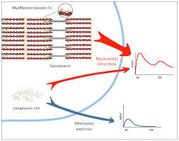 Cardiac Biomarker Changes After Endurance Sports American