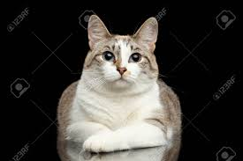 black cats with blue eyes and white paws.  Black Cute White Cat With Huge Blue Eyes Paws In Front Of Him Lying And On Black Cats With Eyes And Paws