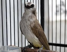 Burung ini memiliki nama lain seperti merbah cerukcuk atau dengan nama latin pyconotus goiavier. Suara Burung Trucukan Jantan Gacor Mp3 Gambar Burung