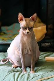 angry hairless cat. Brilliant Angry Throughout Angry Hairless Cat H