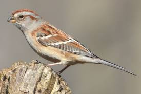 Learn How To Easily Identify Sparrows