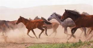 wild horses galloping. Modren Wild On Wild Horses Galloping U