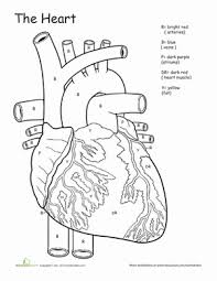 Small Picture Awesome Anatomy If I Only Had a Heart Worksheet Educationcom