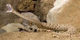 rattlesnake striking at camera. Perfect Rattlesnake Rattler Throughout Rattlesnake Striking At Camera A