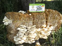Kitchen Garden Mushrooms Elm Oyster Garden Kit 100th Monkey Mushroom Farm