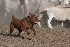 Australian Kelpie Dog Breed Information American Kennel Club