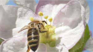 Bee Collects Pollen And Nectar From Spring Blossom Fruit Royalty