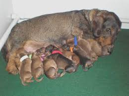 puppies can born to track a new litter of wirehaired dachshunds is born