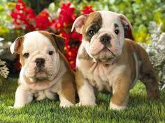 baby english bulldog wallpaper.  Wallpaper Dr Goodpet On Cute BulldogsFrench BulldogsBaby BulldogsFlower WallpaperHd   Inside Baby English Bulldog Wallpaper T