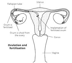 the female reproductive system  women    s health overview   patientovulation and fertilisation  the outside  external  structures of the female reproductive system
