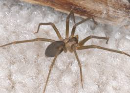 Light Brown Spider With White Spot On Back Avoid Close Encounters With Venomous Spiders Mississippi