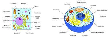2 3 Eukaryotic Cells Bioninja