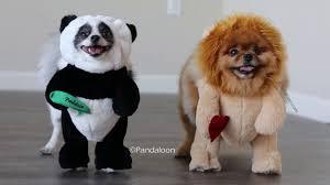 Ups Dog Costume Size Chart Pandaloon Walking Koala Pet Costume Limited Edition