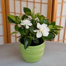 office cubicle plants. Gardenia Plants Grow Well In Offices With A Window. Office Cubicle U