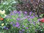 Images & Illustrations of bush violet
