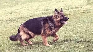 German Shepherd Hip Dysplasia Petcarerx