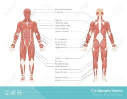 The Human Muscular System Vector Illustration Front And Rear